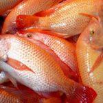 Produce Compesca alevines de tilapia de alta calidad genética