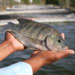 En Michoacán, más de 800 granjas acuícolas: Compesca